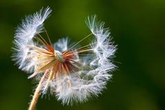 Dandelion kwiat. Zakończenie Zdjęcia Royalty Free