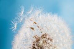 Dandelion kwiatu agains niebieskie niebo zbliżenie miękkie ogniska, Zdjęcie Stock