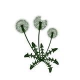 Dandelion kwiatu ikona Obraz Stock