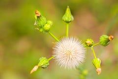 Dandelion kwiatu kwitnienie obrazy royalty free