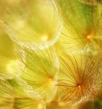 dandelion kwiatu miękka część zdjęcia stock