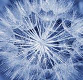 dandelion kwiatu miękka część obrazy royalty free