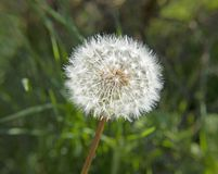 Dandelion kwiatu obsiewanie fotografia stock