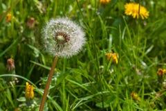 Dandelion kwiatu real makro- obraz stock