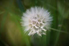 Dandelion kwiatu roślina Po Kwitnąć obrazy royalty free