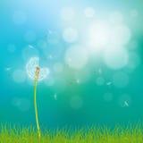 Dandelion kwiatu tło Obrazy Stock
