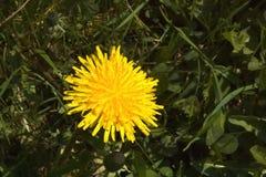 Dandelion kwiatu zbliżenie Zdjęcie Royalty Free