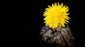 Dandelion kwiatu zbliżenie Zdjęcie Stock
