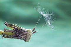 Dandelion kwiatu ziarna zbliżenia zamazany tło Obraz Stock