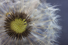 Dandelion kwiatu ziarna zbliżenia zamazany tło Obrazy Stock