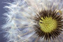 Dandelion kwiatu ziarna zbliżenia zamazany tło Obrazy Royalty Free