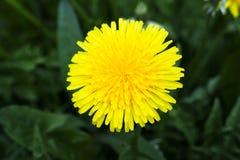 Dandelion kwiaty Zdjęcia Stock
