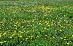 Dandelion kwiecenie w polu przy wiosną Zdjęcie Stock