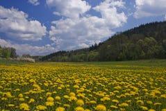 dandelion kwitnie łąkę Zdjęcia Royalty Free