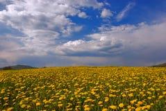 dandelion kwitnie łąkę Zdjęcia Stock