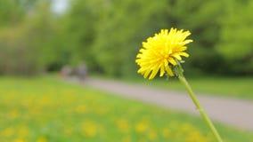 Dandelion kwitnie close-up zielone pola zbiory