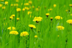 dandelion kwitnie kolor żółty Zdjęcia Royalty Free