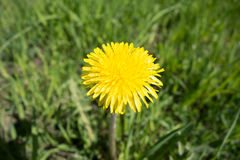 dandelion kwitnie kolor żółty Taraxacum obrazy stock