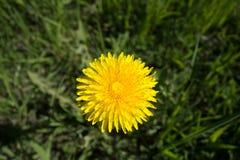 dandelion kwitnie kolor żółty Taraxacum fotografia stock