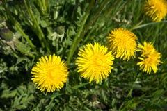 dandelion kwitnie kolor żółty Taraxacum obraz stock