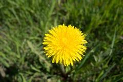 dandelion kwitnie kolor żółty Taraxacum zdjęcie royalty free