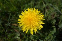 dandelion kwitnie kolor żółty Taraxacum fotografia royalty free