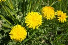 dandelion kwitnie kolor żółty Taraxacum zdjęcie stock