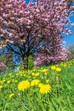 Dandelion kwitnie na zielonej łące przed różowym kwiatonośnym drzewem obraz stock