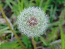 Dandelion kwitnie ostatnio obraz stock