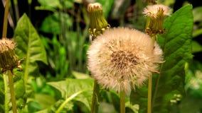 Dandelion kwitnie otwarcie