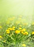 Dandelion kwitnie w zielonej trawie zamazującej Zdjęcie Royalty Free