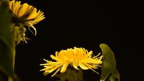 Dandelion kwitnienie w ranku zbiory