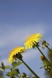 Dandelion kwitnienie w wiośnie w Finlandia Zdjęcie Royalty Free