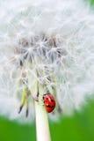 Dandelion and lady bug Royalty Free Stock Image