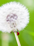 Dandelion and lady bug Royalty Free Stock Images