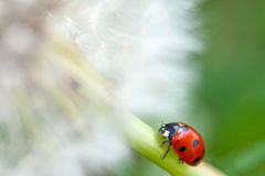 Dandelion and lady bug Stock Photo