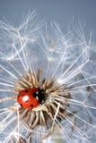 dandelion ladybird obraz stock