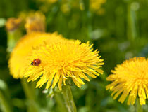 Dandelion with Ladybird Royalty Free Stock Photo