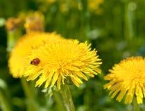 Dandelion with Ladybird Royalty Free Stock Photo