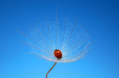 Dandelion and ladybug Royalty Free Stock Photos