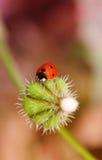 Dandelion and ladybug royalty free stock photography