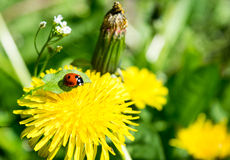 Dandelion and ladybug on grass background Stock Photos