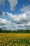 Dandelion landscape. Dandelion meadow royalty free stock photos