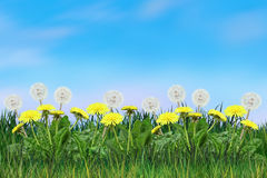 Dandelion flowers sunny day blowball floral landscape. Dandelion in the morning sunlight a fresh green grass, light blue sky, floral meadow, pastureland, sunny stock image