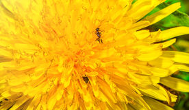 Dandelion large plans, the petals have him crawling ants. Royalty Free Stock Photo