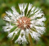 Dandelion after a large rainfall Royalty Free Stock Images