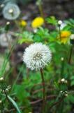dandelion las Obrazy Stock