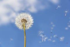 Dandelion latający pollen Obraz Royalty Free