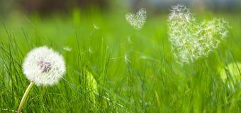 dandelion latania formy serc ziarna Obrazy Stock