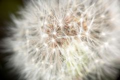 Dandelion in late spring. Bloomed out ndelion in late spring stock image